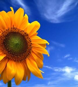 sun flower small